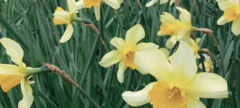 Bild på påskliljor